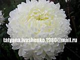 Хризантема крупноквіткова срезочная біла Газель, фото 2