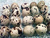 Инкубационное яйцо эстонский перепел