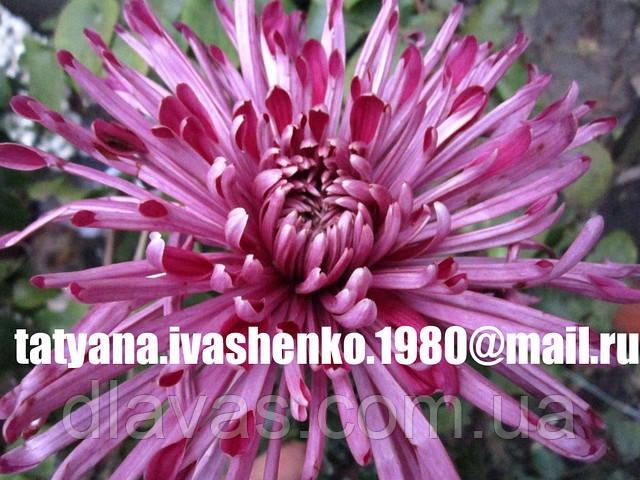 Хризантема крупноцветковая срезочная сиреневая иголкаФЛОЙ (Floy Lilac)