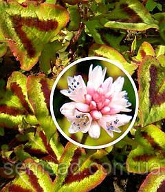 "Горец мелкоголовчатый "" Пурпл Фентези "" \ Polygonum microcephala purple fantasy  ( саженец р9)"