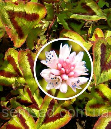 "Горец мелкоголовчатый "" Пурпл Фентези "" \ Polygonum microcephala purple fantasy  ( саженец р9), фото 2"