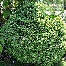 Buxus sempervirens 'Suffruticosa', Самшит вічнозелений 'Суфрутікоза',30-35см,RB - ком