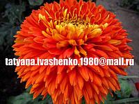 Хризантема крупноцветковая срезочная красная Эскорт Пот (Escort Pot)