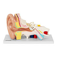 Анатомічна модель вуха