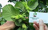 """Фундук """"Варшавский"""" семена (10шт) для выращивания саженцев (лесной орех, лещина) насіння горіх для саджанців, фото 3"""