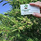Миндаль сладкий семена (10шт) (насіння мигдаля для саджанців)семечка, косточка для выращивания саженцев, фото 3