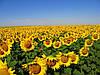 Насіння соняшнику Голдсан, фото 3