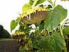 Семена подсолнечника Голдсан, фото 4