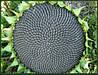 Семена подсолнечника ЛГ5635