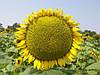 Семена подсолнечника Мегасан, фото 3