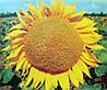 Семена подсолнечника Тунка, фото 2