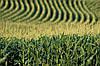Семена кукурузы НС-208,НС-101,НС-300,НС-4010, фото 5