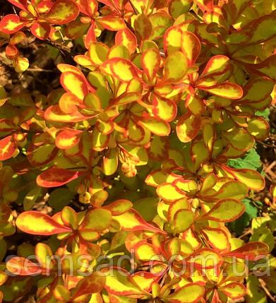 Барбарис Тунберга Лимонцелло \ Berberis thunbergii Limoncello ( саженцы 2 года), фото 2