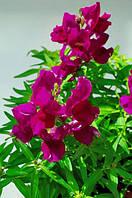 Семена Антиринум Снеппи F1,фиолетовый Hem Genetics 1000 шт