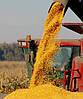 Насіння кукурудзи Кремінь 200СВ, фото 3