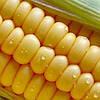 Насіння кукурудзи Кремінь 200СВ, фото 4