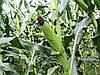 Насіння кукурудзи Кремінь 200СВ, фото 2