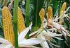 Семена кукурузы Кадр 267 МВ, фото 3