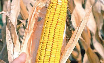 Семена кукурузы Белозерская 295СВ