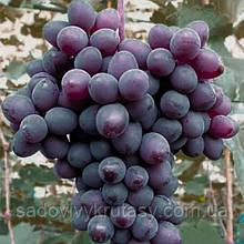Виноград кишмиш Юпітер саджанець