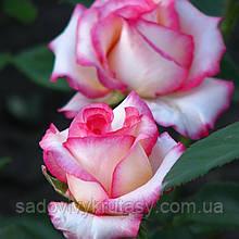 Троянда Белла Віта (Bella Vita)  (саджанці)