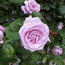 Троянда Блю Мун (Blue Moon)  (саджанці)