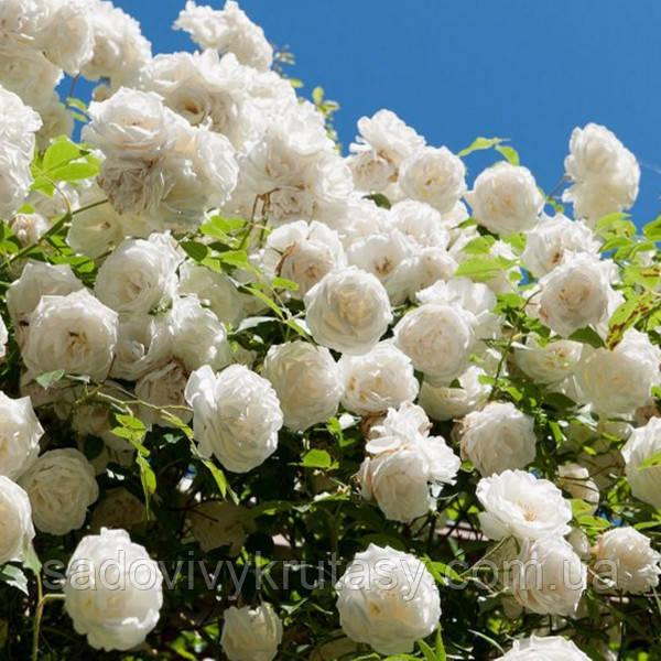 Троянда Перпешуалі Йорс (Perpetually Yours)  саджанець