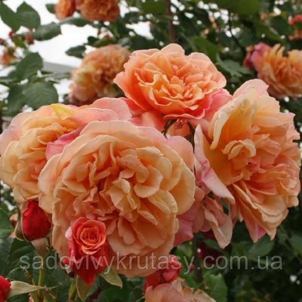 Троянда Алоха (Aloha)  (саджанці)
