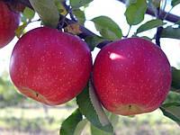 Саджанці яблунь Слава переможцям