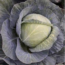 Семена капусты б/к Тореодор F1 (2500 сем.) Syngenta  11