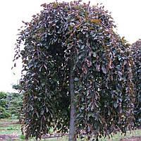 Бук лесной 'Пурпуреа Пендула' (35л)