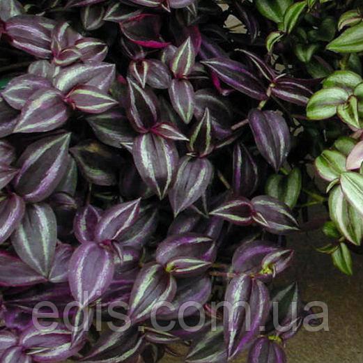 Традесканция зебрина Deep Purple (Тёмно-фиолетовая) Р9