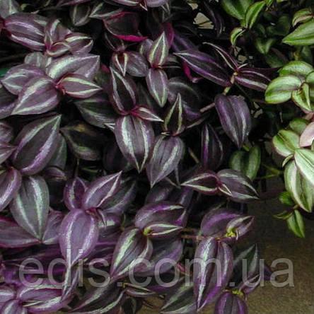 Традесканция зебрина Deep Purple (Тёмно-фиолетовая) Р9, фото 2