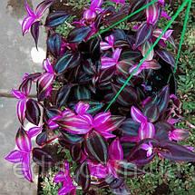 Традесканция зебрина Deep Purple (Тёмно-фиолетовая) Р9, фото 3