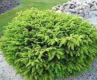 """Ель обыкновенная Нидиформис (Picea abies """"Nidiformis) 10 см"""