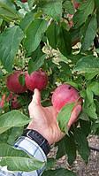 Сорт яблони  Граф Эзо(осенний) М9, 106