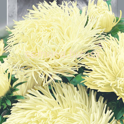 Семена Астра высокорослая Крален Бирма 0.25 г SeedEra 5992, фото 2