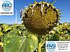 Семена подсолнечника ЛЕЙЛА Евралис, Высокоурожайный гибрид, Семена устойчивые к шести расам заразихи А-F.
