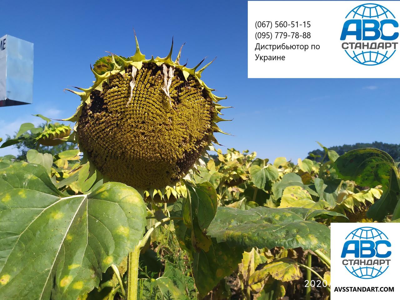 Высокоурожайный подсолнечник 42 ц/га Бенето Маисадур. Гибрид держит шесть рас заразихи A-F и засуху. Экстра. Урожай 2019 года.