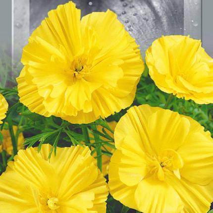 Насіння Ешшольція Каліфорнійська Абрикосовий Шифон 0.5 г Seedera 6010, фото 2