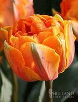 Тюльпан Махровый + Многоцветковый Orca (Орка), фото 1