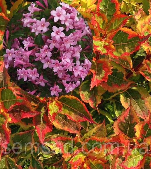 Вейгела цветущая Мэджикал Ренбоу \ Weigela florida Magical Rainbow ( саженцы)