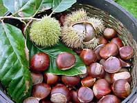 Каштан съедобный (посевной) семена на посадку