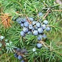 Можжевельник (Juniperus communis), фото 1