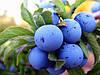 Терн, терновник, слива колючая (Prunus spinosa)