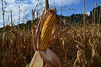 Семена кукурузы гибрида Мартиника