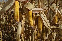 Семена кукурузы Хотин ФАО-280