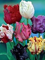 Коллекция попугайных тюльпанов 15 сортов 30 луковиц/уп.