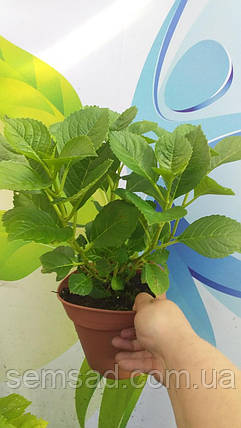 Гортензия крупнолистная Мэджикал Руби Тусдей \Hydrangea macrophylla Magical Ruby Tuesday ( саженцы), фото 2