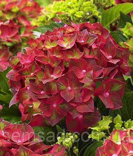 Гортензия крупнолистная Мэджикал Руби Тусдей \Hydrangea macrophylla Magical Ruby Tuesday ( саженцы)